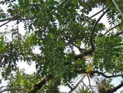 ylang ylang arbre Matouba habitation Joséphine