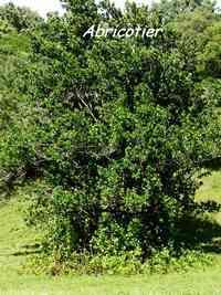 abricotier, Mammea americana, arbre,Trace du prince, guadeloupe