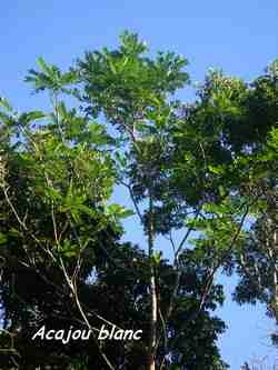acajou blanc, Simaruba amara, arbre, 36 mois, ste rose, guadeloupe, antilles