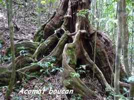 Acomat boucan, Ravine gras, Basse terre