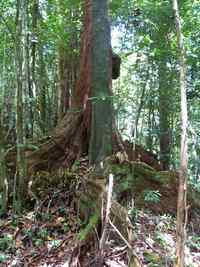 Acomat boucan, Sloanea caribeae, Sarde, Basse terre