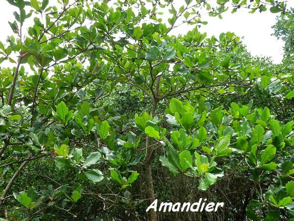 Le littoral ecosysteme de guadeloupe - Fruit de l amandier ...