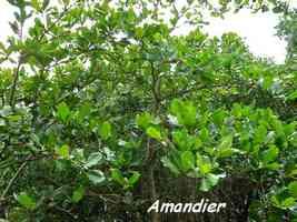 Amandier, Terminalia catappa, arbre, Pointe à bacchus