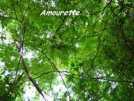 Amourette, Acacia retusa, Petit Havre