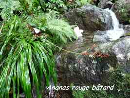 ananas rouge angustifolia, chutes moreau, goyave, basse terre nord, guadeloupe