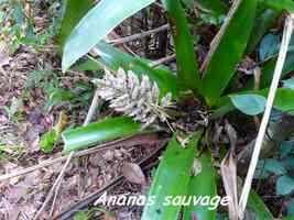 ananas sauvage, B Argent