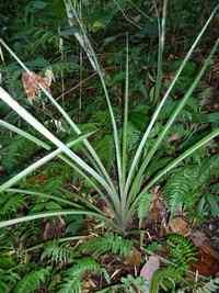 ananas sauvage, riv D