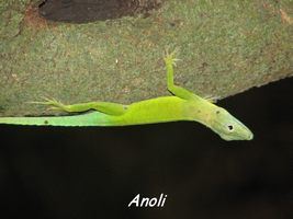 anoli, faune, bras de fort, goyave, guadeloupe