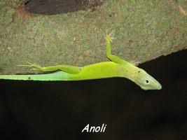 anoli, Anoli mormoratus, faune, bras de fort, goyave, guadeloupe