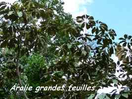 Aralie grandes feuilles, Schefflera morototoni, Contrebandiers, Guadeloupe