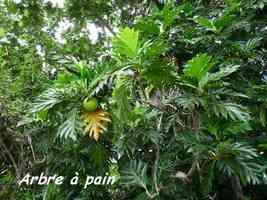 Arbre à pain, Artocarpus altilis, arbre, Pointe à Bacchus