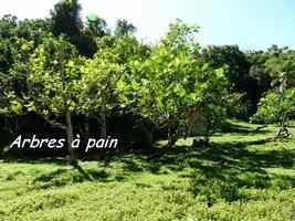 Arbre à pain, Artocarpus altilis, arbre, trace du prince, Guadeloupe