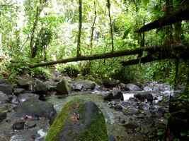 arbre sur rivière, chutes moreau, goyave, basse terre nord, guadeloupe