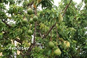 avocatier arbre jardins guadeloupe