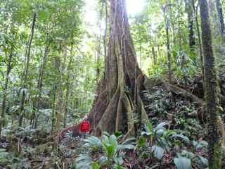 acomat boucan, Sloana caribaea,grand arbre foret tropicale humide antillles