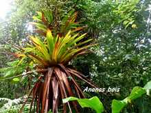 ananas grand bois, Glomeropitcairnia penduliflora , armistice, basse terre, epipphyte, foret humide, guadeloupe