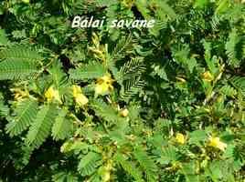 Chamaecrista globulosa, arbuste, Grande Pointe