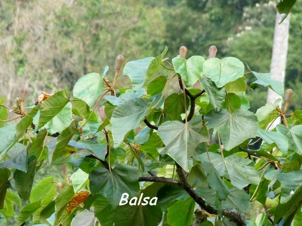 balsa feuilles grivelière L