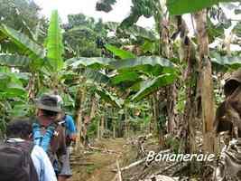 bananeraie, bras de fort, goyave, Guadeloupe