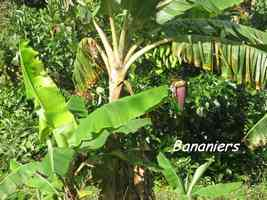 bananier, bras de fort, goyave, guadeloupe