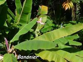 bananier, Riv D