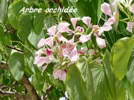 Arbre orchidée, Bauhinia monandra, sentier des Hauts de Capesterre
