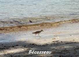 Bécasseau, Calidris pusilla, Petit Havre