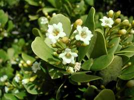 bois bracelet,Jacquinia armillaris, arbuste, pointe des chateaux, guadeloupe