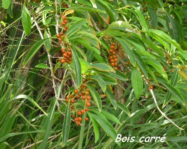 bois carré, Citharexylum spinosum, arbre, foret seche, gros morne, deshaies, basse terre