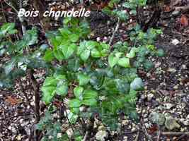 bois chandelle, ravine NW Moule