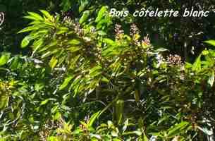 bois cotelette, arbre, trace 36 mois, basse terre, guadeloupe