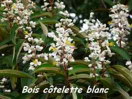 Bois Côtelette blanc, galbas