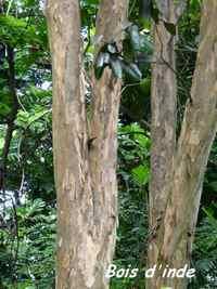 Bois d`inde, Pimenta racemosa, Pointe à Bacchus