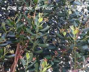 Bois d`inde en fleurs, Pimenta racemosa, terre de bas , les saintes, Guadeloupe