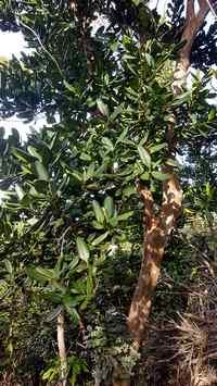 bois d inde terre de bas Guadeloupe