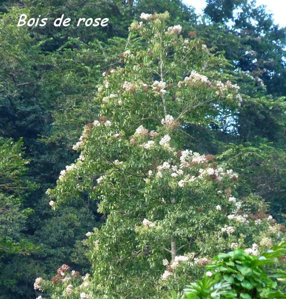 bois de rose, grivelière L
