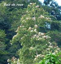 bois de rose, grivelière