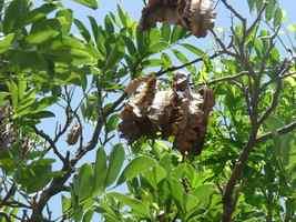 bois enivrage,Piscidia carthagensis, foret littorale sèche, ecosustel guadeloupe