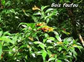 Palicourea crocea, Bois foufou, Piton de Bouillante