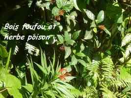 bois foufou herbe poison, tete allegre, baille argent, guadeloupe
