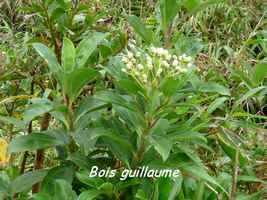 bois guillaume, arbuste, soufrière , guadeloupe