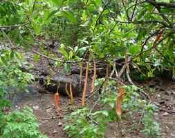 Bois noir, Capparis cynophalophora, Désirade