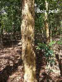 bois pelé, terre de bas, Guadeloupe