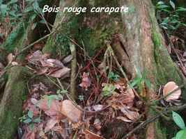 bois rouge carapate, arbre, trace 36 mois, basse terre, guadeloupe