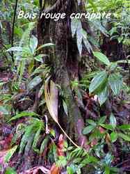 bois rouge carapate, Amanoa caribaea arbre, moreau, basse terre nord, guadeloupe