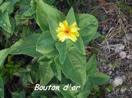 Bouton d`or, Wedelia calcina, Désirade