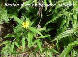 Bouton d`or, Wedelia calcina, Contrebandiers, guadeloupe