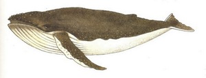 mammifère marin,grands fonds, ecosysteme marin, guadeloupe, antilles