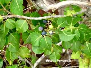 arbuste, foret seche, balade, barre de cadoue, grande terre, guadeloupe