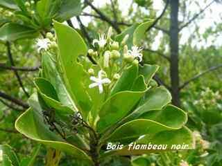 Erithalis fructicosa, barre de cadoue, grande terre, guadeloupe